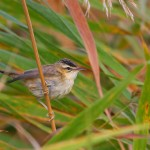 Moustached Warbler (<i>Acrocephalus melanopogon</i>) (Photo: Dan Bandacu)