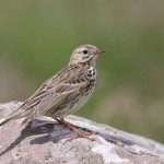 Meadow Pipit (<i>Anthus pratensis</i>), adult