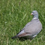 Wood Pigeon (<i>Columba palumbus</i>), adult