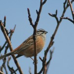 Rock Bunting (<i>Emberiza cia</i>), adult male