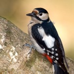 Great Spotted Woodpecker (<i>Dendrocopos major</i>), adult female