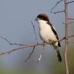 Woodchat Shrike (<i>Lanius senator</i>), adult