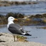 Lesser Black-backed Gull (<i>Larus fuscus</i>) (ssp. <i>graellsii</i> ?), adult