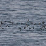 Mediterranean Shearwater (<i>Puffinus yelkouan</i>), flock over sea (Photo: Luca Andrei Dehelean)