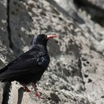 Chough (<i>Pyrrhocorax pyrrhocorax</i>), adult