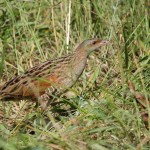 Corncrake (<i>Crex crex</i>), adult (in Romania) (Photo: Răzvan Zinică)